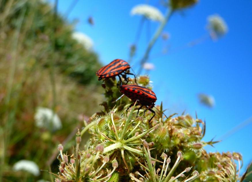 Lieber mal Sonne genießen - wie diese beiden Käfer in Südfrankreich  Foto: DAC 81/ flickr.com