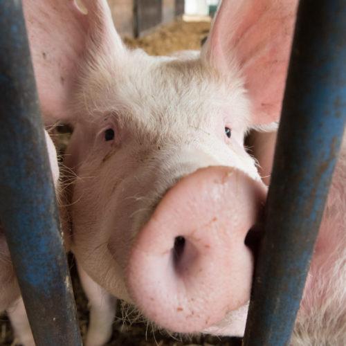 Ein Schwein steckt seinen Rüssel durch das Gitter seines Geheges und schaut in die Kamera